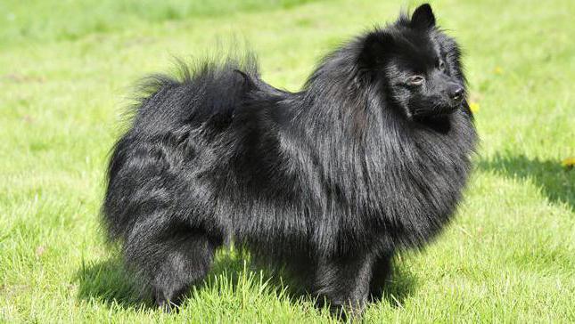 dwarf spitz black
