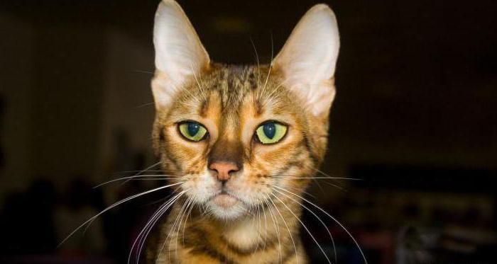 сколько стоит кошка серенгети