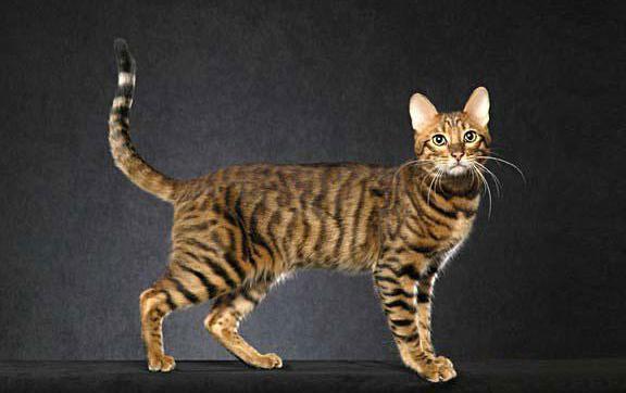 серенгети кошка характер