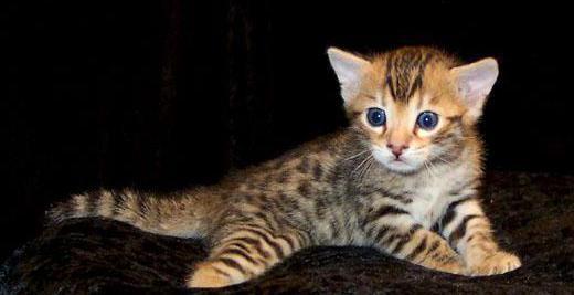 серенгети кошка отзывы