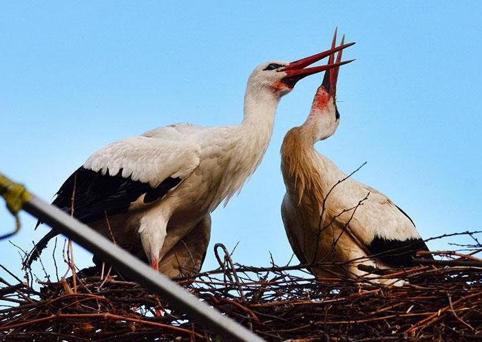 white stork dream