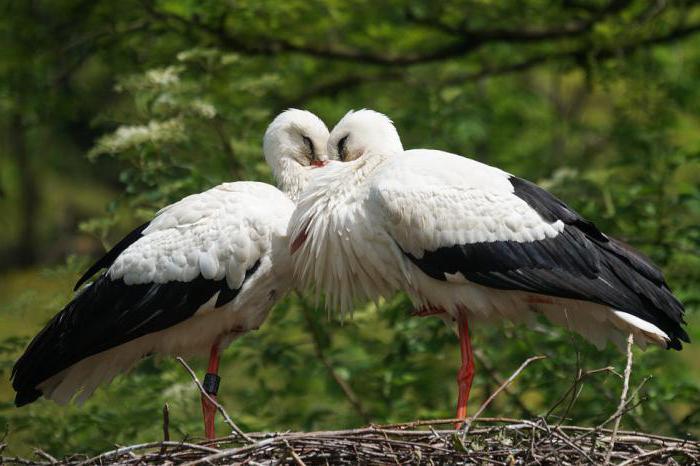 dream two stork