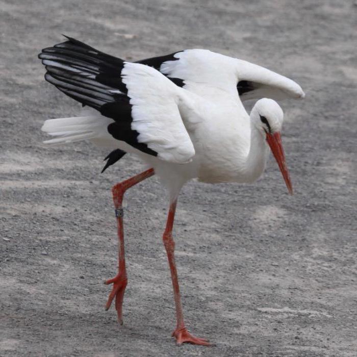 dream stork