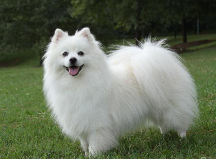 American Eskimo Spitz breed description