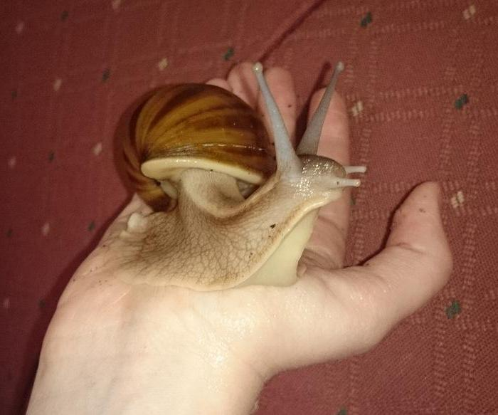 Achatina snails in cosmetology