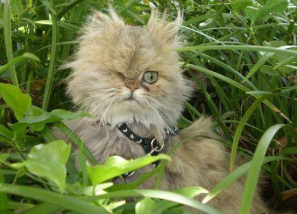 чем лечить конъюнктивит у кошек