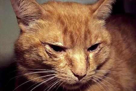 conjunctivitis in cats treated