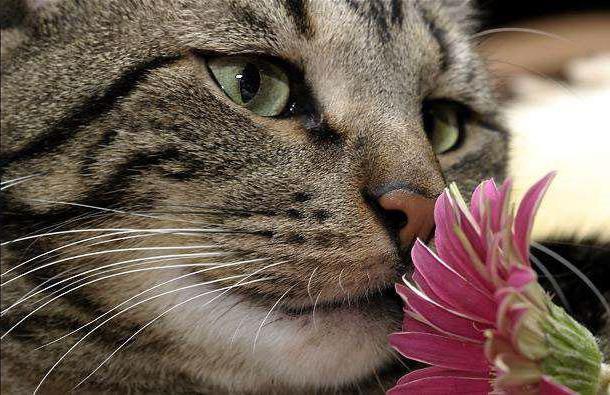 purulent conjunctivitis in cats