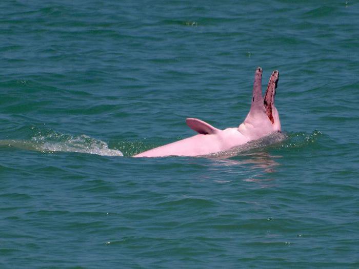 Где обитает розовый дельфин