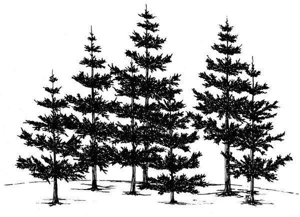 how to draw pines