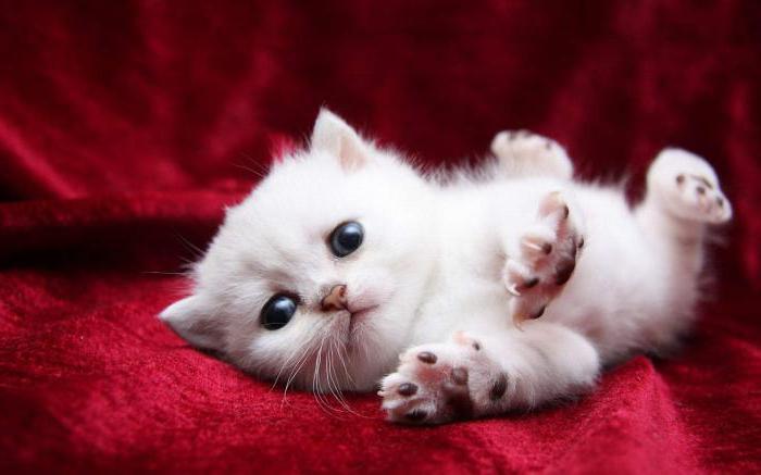 К чему снится белая кошка? Толкование снов