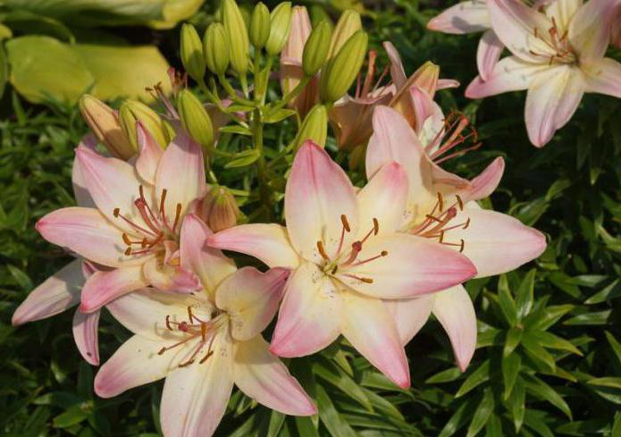 lily marlen bulb