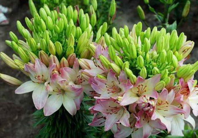 lily marlene photo