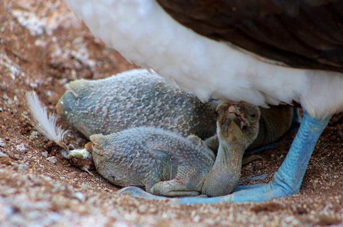 птица из семейства олушевых