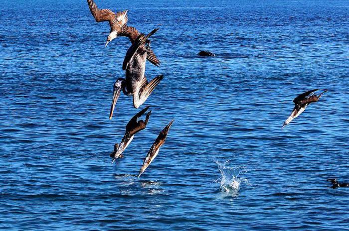 Голубоногая олуша - морская птица из семейства олушевых: описание, место обитания