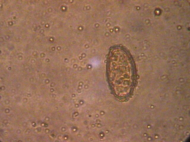 lancet fluke life cycle morphology