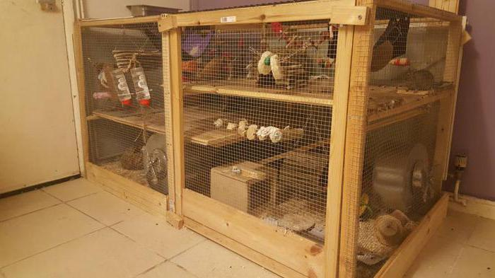 degu gnaws a cage