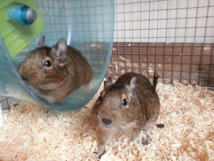 how to make a cage for degus