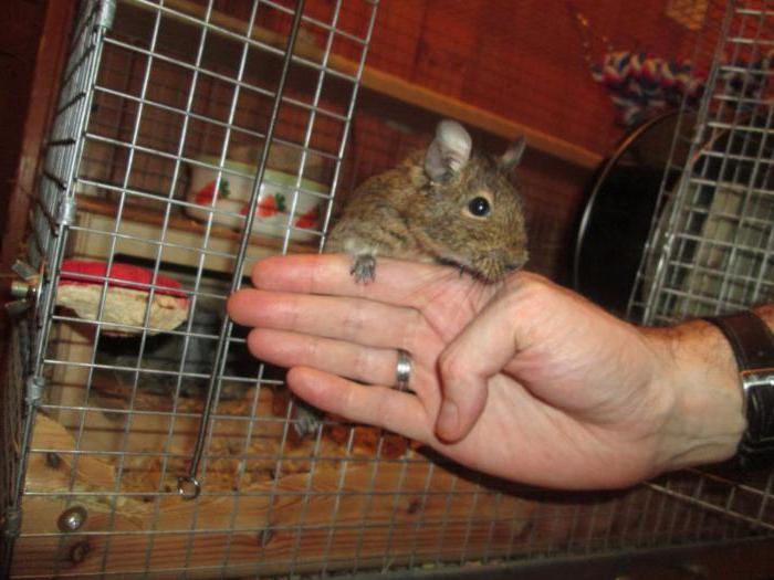how to make a cage for degus do it yourself