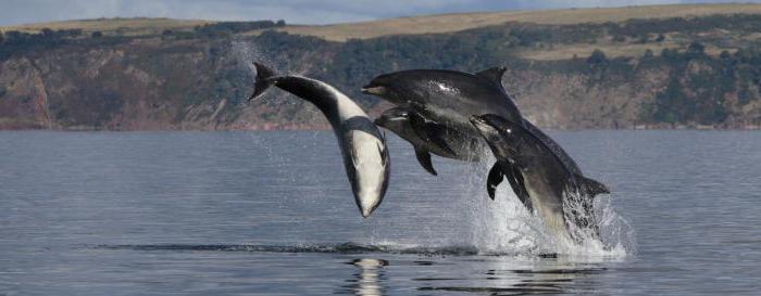 Dolphin of the Black Sea