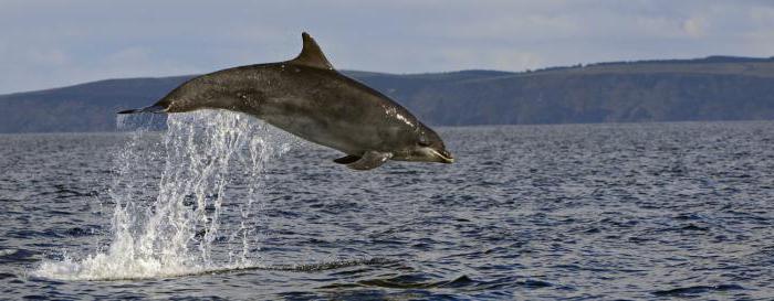 Black Sea Dolphins of Crimea