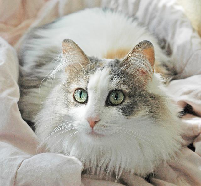 ragamaffin american cat breed