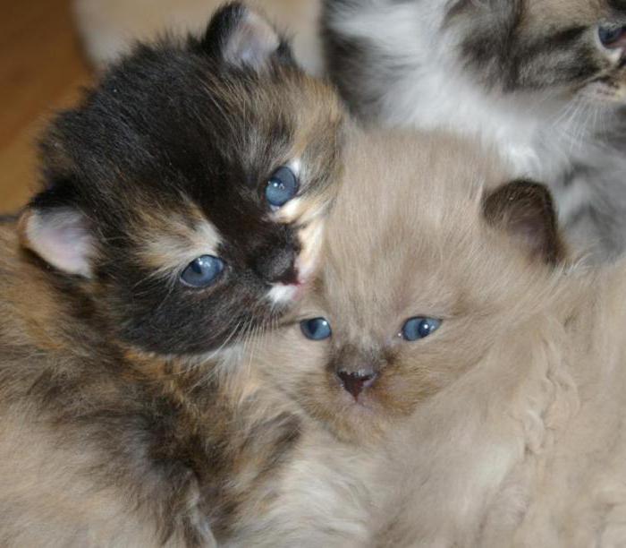 ragaffin cat breeds