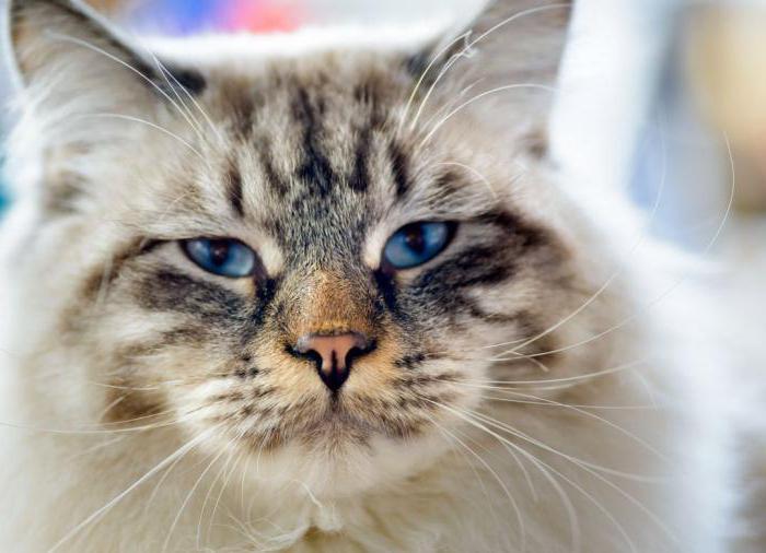 ragaffin cat