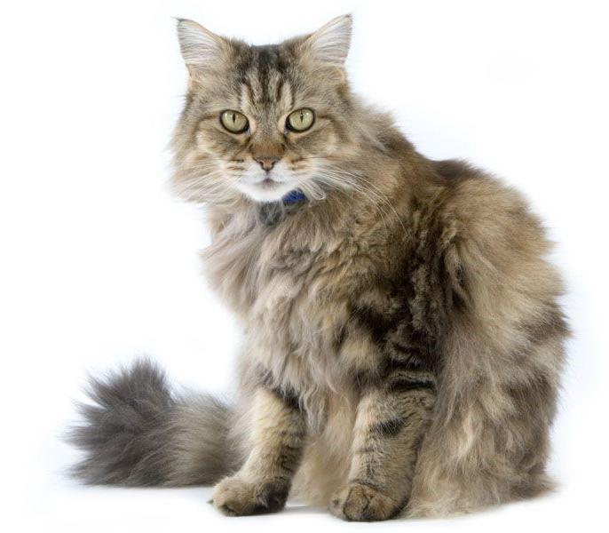 ragaffin cat Price