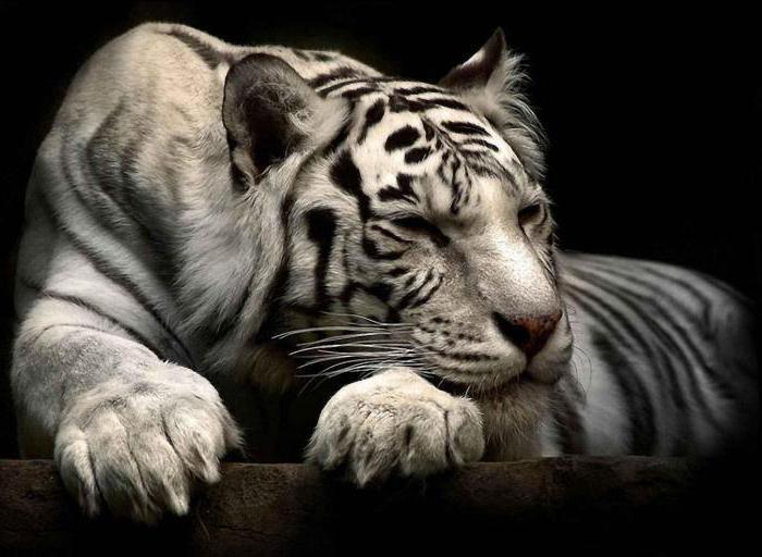 сон тигр для женщины