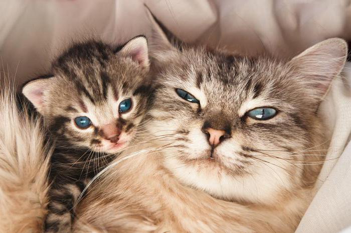 К чему снится беременность кошка