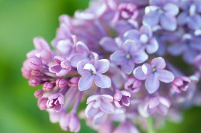 dream lilac blooming