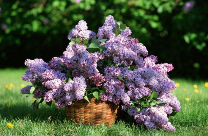 breaking lilacs in the yard