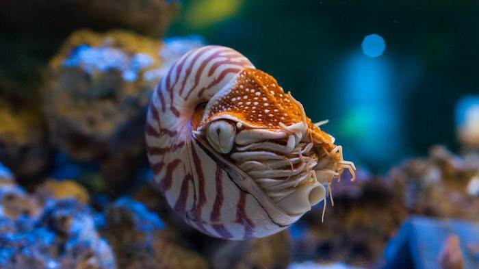 the description of the marine science of chambered nautilus The term chambered nautilus is also used for any species of the nautilidae blackwell science, 233 isbn 0-632-05238-4 marine life profile: chambered nautilus.