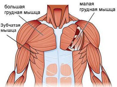 грудная мышца