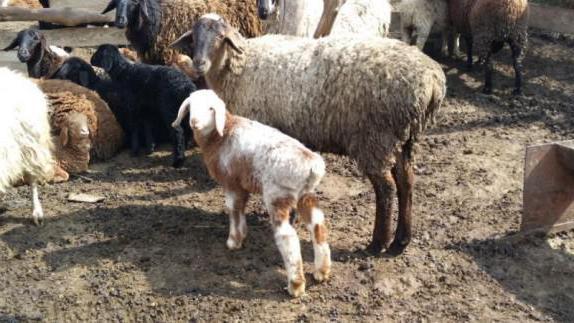 Breeds of Hissar sheep and rams