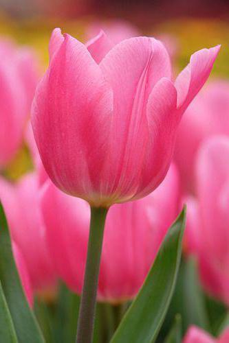 К чему снятся тюльпаны? Сонник