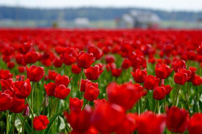 черные тюльпаны сонник
