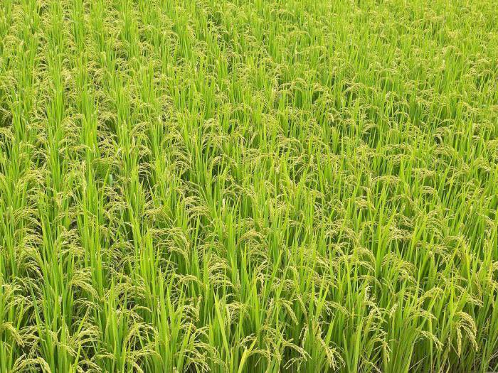 rice arborio Price