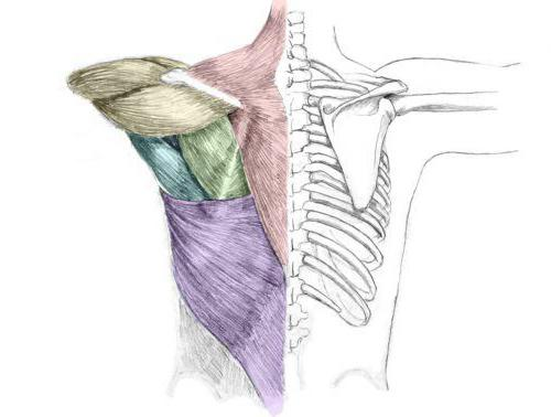 muscle lifting scapula function