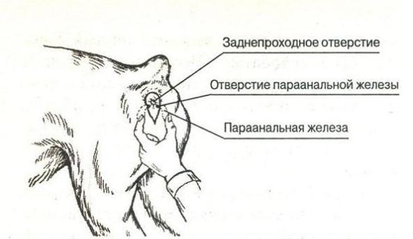 analnie-zhelezi-u-shpitsev