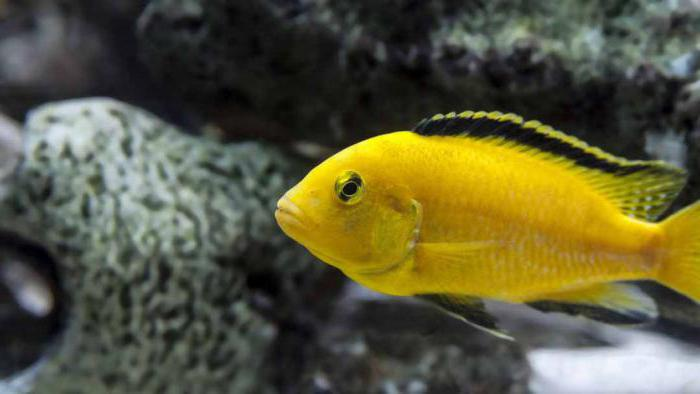 Yellow lab cichlid female