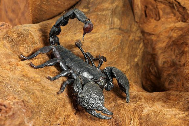 emperor scorpion is poisonous or not