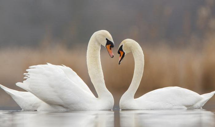 сонник лебеди белые на воде очень много