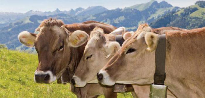Schwyz Dairy Cow Description