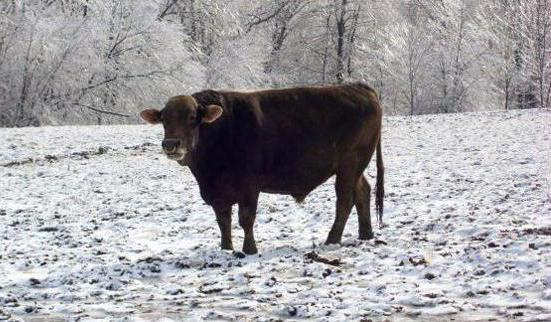 Swiss breed of cows description and characteristics