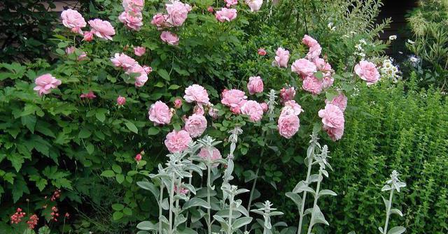 Роза с упакованной корневой системой, стебли покрыты парафином, в красочной упаковке
