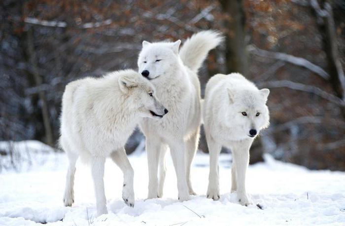wolf species name