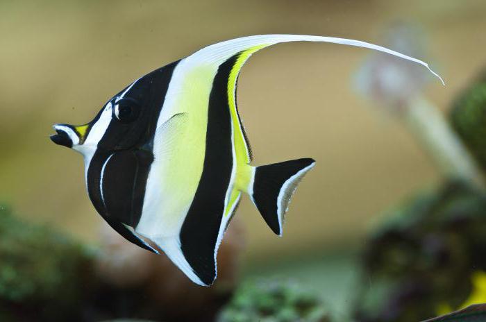 fish beautiful swords