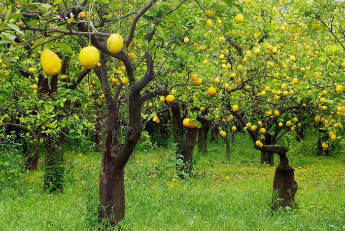 к чему снятся лимоны на дереве